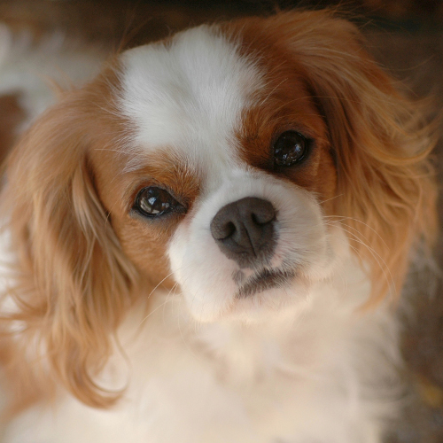 The youngest of the original Dulce Cavalier spaniels, Jazzmine